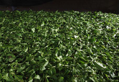 一面に敷き詰められた青々とした中国茶葉